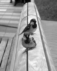 Two on a bench (siong.lewis) Tags: birdphotography avian urbanwildlife streetphotography urbanphotography birds fauna
