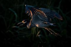 A New Day (gseloff) Tags: yellowcrownednightheron bird flight bif sunrise light chiaroscuro nature wildlife horsepenbayou pasadena texas kayak gseloff