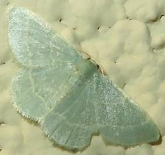Emerald, Xerochlora sp., I-19 Northbound Rest Area, Canoa, AZ (Seth Ausubel) Tags: geometridae az moth geometrinae