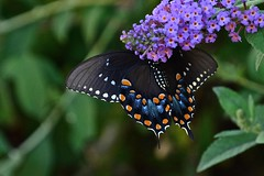 Spicebush Swallowtail (deanrr) Tags: summer nature butterfly outdoor alabama purpleflower butterflybush butterflyonflower 2019 blackbutterfly morgancountyalabama backyardbutterfly swallowtail spicebush ventralview