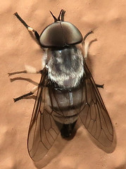 Horse Fly, Leucotabanus ambiguus, male, Tubac, AZ (Seth Ausubel) Tags: tabanidae az diptera tabaninae