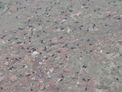 Woodhouse toad tadpoles (Anaxyrus woodhousei) (tigerbeatlefreak) Tags: woodhouse toad tadpole anaxyrus woodhousei amphibian nebraska