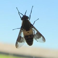 Deerfly, Chrysops viduatus (Anita363) Tags: deerfly fly chrysopsviduatus chrysops chrysopsinae tabanidae tabanomorpha orthorrhapha diptera insect fauna šiauliai siauliai lithuania