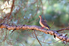 DSC_2171 (joshua-phillips) Tags: dove florencealabama alabama una natgeo nationalgeographic nikond500 tamrong270200 nikon tamron wildlife bird
