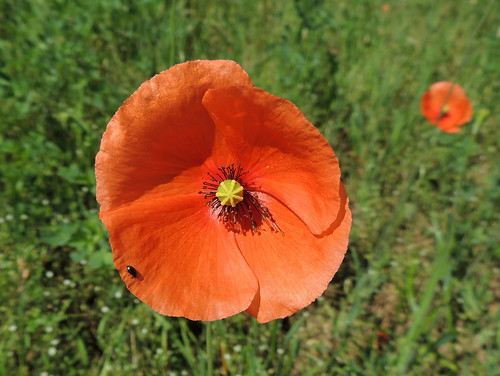 Long-headed Poppy, Papaver dubium