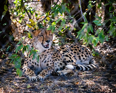 Cheetah (Shiva Shenoy) Tags: fossilrim texas summer 2019 wildlife nature nikonz6 sigma100400