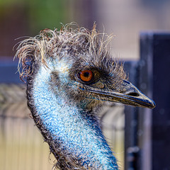 Emu (Shiva Shenoy) Tags: fossilrim texas summer 2019 wildlife nature nikonz6 sigma100400