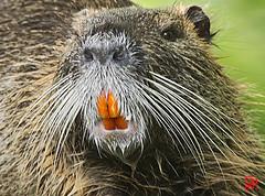 Pourquoi les ragondins ont-ils les dents oranges ? (mamnic47 - Over 10 millions views.Thks!) Tags: sigma150600mm etangdelongchamp 21082019 6c8a3063 ragondin dentsorange moustaches myocastorcoypus
