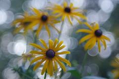 Rudbeckias (Patrice StG) Tags: pentax kp pentaxart bokeh fleur flower vintagelens vintage cosinon55mmf21 gimp