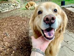 Gentle Henry (bztraining) Tags: dogchal henry retriever golden bzdogs bztraining