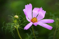 Pink Cosmos (janedsh) Tags: plant indiana east central nature flower pink cosmos photo by jane holmanphotoscom flora photobyjane eastcentralindiana