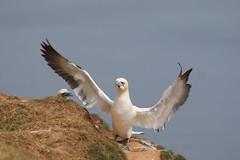Just landed (jpotto) Tags: uk yorkshire bempton bird gannet rspb