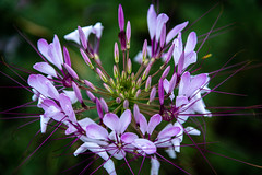 Spider Flower (janedsh) Tags: plant indiana east central nature flower spider photo by jane holmanphotoscom flora photobyjane eastcentralindiana spiderflower