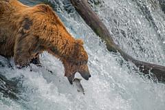 Reach for it (Tom Fenske Photography) Tags: fish alaska jumping fishing bears salmon falls waterfalls lip brownbear grizzlies salmonrun grizzlybear brooksfalls brookscamp bear summer lefty