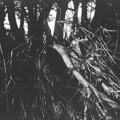 Tree branches (Matthew Paul Argall) Tags: pouvastart fixedfocus 120film 120 mediumformat squareformat squarephoto 6x6 fomapan100classic 100isofilm