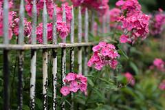 HFF - Explore 25 (jillyspoon) Tags: pink flowers metal fence sony 85mm foliage pinkflowers hff metalfence sonyalpha sony85mm fenceandflowers fencefriday happyfencefriday sonya7iii dof depthoffield railings explore