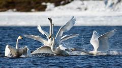 Whooper swans in spring time (bholmbom81) Tags: winter snow water birds fight whooperswans springfiver bjornholmbom björnholmbom