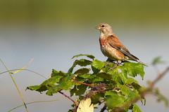 Linnet (Linaria cannabina) (Baldyal) Tags: bird branch bramble wildlife kent