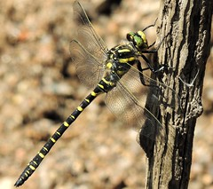 Gold-Ringed Dragonfly (Kevin Pendragon) Tags: dragonfly black yellow green bands rings water river slow moving resting dartmoor clear fresh air nature naturephotography outdoors outside sun sunshine heat hot weather light dark fast hunter