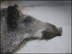 retrato de perfil. (antoniocamero21) Tags: retrato perfil color foto sony porc senglar cerdo jabalí animal mamífero salvaje