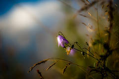 Harebell (tonguedevil) Tags: outdoor outside countryside summer nature field meadow grass flowers harebells sky clouds colour light shadows sunlight