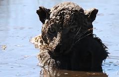 Close up of leopard sitting in waterhole with baboon kill (Paul Cottis) Tags: bigcat paulcottis 19 june 2019 moremi okavango botswana africa leopard kill baboon waterhole portrait eye face