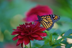 Dahlia time! (ineedathis, Everyday I get up, it's a great day!) Tags: monarch danausplexippus newborn butterfly life insect πεταλουδα wings λεπιδοπτερα lepidoptera love male closeup nature dahlias flower summer garden nikond750 bokeh