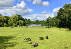 Geese Grazing  (Explored) (Eleanor (New account))) Tags: scenery park londonpark regentspark london england geese canadageese lake trees tower deckchairs appleiphone8 august2019
