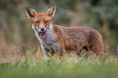 Red Fox (Glenn.B) Tags: nature wildlife buckinghamshire animal mammal fox grassland redfox britishfox canoneosr