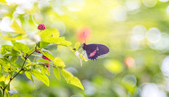 Happy place... (Glenn van Windt) Tags: paridesiphidamas transandeancattleheart lepidopterarhopalocera butterfly vlinder tropicalbutterfly insect vlindertuin artiszoo nature natuur sigma180mm128apomacrodghsm