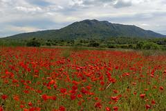 P1020082 (alainazer2) Tags: jouques provence france fiori fleurs flowers fields champs ciel cielo sky colori colors couleurs coquelicot poppy papavero