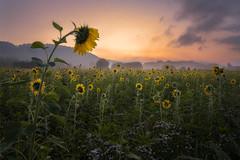 Sunflower sunrise (Sebo23) Tags: sunflower sonnenblume sonnenaufgang sunrise light licht lichtstimmung morgenstimmung morgennebel morninglight landschaftsaufnahme landschaft landscape landscapephotography naturaufnahme nature canoneosr canon16354l