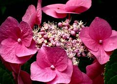 allen einen schönen Freitag.... (karin_b1966) Tags: blume flower blüte blossom pflanze plant garten garden natur nature 2019 hortensie tellerhortensie yourbestoftoday