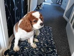 Runner Beans? Not sure. (Pete 1957) Tags: dog dogs pet pets cavalier ckcs spaniel saffronwalden coathfamily essex