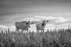Two curious Dalmatians Cows (Black&Light Streetphotographie) Tags: mono monochrome kühe tiefenschärfe tiere availablelight animals wow fullframe vollformat dof depthoffield lichtundschatten lightandshadows landscape landschaft sony streets streetshots streetportrait street schwarzweis streetphotographie sw sonya7rii