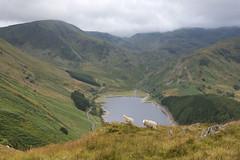 Haweswater Sheep (Nick Landells) Tags: lake walking photography photo walks sheep walk hill lakedistrict reservoir highstreet fell guided haweswater roughcrag harterfell mardaleillbell therigg lakelandphotowalks