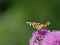 The Visitor (JH Photos!) Tags: canon600d canon jhphotos vanessacardui paintedlady insect insects flower flowers gardenflower butterfly vlinder pink green orange summer beautiful photography nature naturelovers natur natuur bloemen groen roze oranje