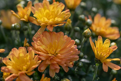 Mums the word. (SpyderMarley) Tags: bright sunny petals blossoms orange buds flowers mums