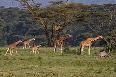 Graceful strangers - EXPLORED (August 24, 2019) (JD~PHOTOGRAPHY) Tags: giraffe giraffes familyofgiraffes wild wildlife animal wildanimal animalsinthewild africanwildlife africa kenya canon nature canon6d ngc