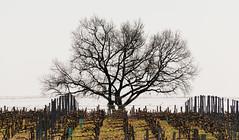Un arbre dans la vigne (balese13) Tags: 16300 d5500 gironde landiras nikonpassion saintagrèves tamronaf16300mmf3563dillvcpzdmacrob016 yourbestoftoday balese bordelais nikon nikonistes tamron vigne 500v20f