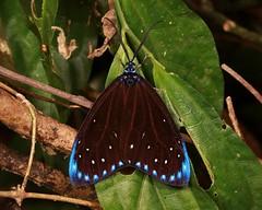 Chalcosiine Day-Flying Moth (Cyclosia midama, Chalcosiinae, Zygaenidae), male (John Horstman (itchydogimages, SINOBUG)) Tags: insect macro china yunnan itchydogimages sinobug entomology moth lepidoptera canon chalcosiinae zygaenidae blue