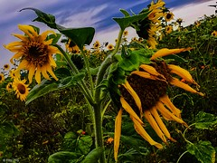 Sunflowers (PinoyFri) Tags: sonnenblumen sunflowers tournesols girasoles 向日葵 해바라기 عبادالشمس sadness