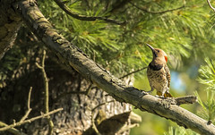 Northern Flicker.... (Kevin Povenz Thanks for all the views and comments) Tags: 2019 august kevinpovenz westmichigan michigan silverlake mears bird woodpecker canon7dmarkii sigma150600 outside outdoors wild forest trees tree branch orange red green nature wildlife