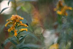 Malerisch (Magreen2) Tags: fliege insekt goldrute pflanze bokeh oldlens trioplan100 light colours colourfulplant malerisch farbenfroh licht altesobjektiv