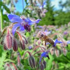 Bee on borage (Douglas Jarvis) Tags: bee macro flower borage wildflower herb