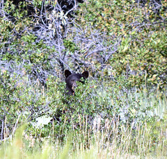 Peek-a-boo with a Black Bear (Justin T Smith Photography) Tags: bear wildlife nikon hiking colorado blackbear nature stunning america amazing animal