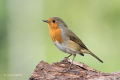 Robin D85_9626.jpg (Mobile Lynn) Tags: nature chatsrelatives birds robin bird fauna oscines passeri passeriformes songbird songbirds wildlife winchester england unitedkingdom coth specanimal coth5 ngc npc