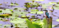 (Reaz Sumon) Tags: naturalbackground riverkingfisher alcedoatthis kingfisherflying kingfisher background common emerging flying green natural river water avian netherlands action alcedo amazing animal atthis beak bill bird birds blue