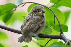 Moineau domestique - Passer domesticus - House Sparrow - Québec, Canada - 3535 (rivai56) Tags: oisillon sur la clôture moineaudomestiquepasserdomesticus housesparrow québec canada 3535 moineau sparrow oiseau bird