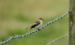 Pied Flycatcher . female summer .at Bempton. (Jacko2nd) Tags: piedflycatcher bempton migrant wildlife 7d canon tamronsp150600mmf563divcusdaoll